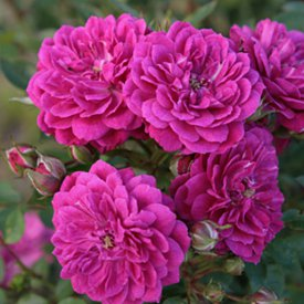 Rose Purple Rain